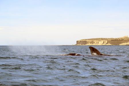 balena puerto piramides